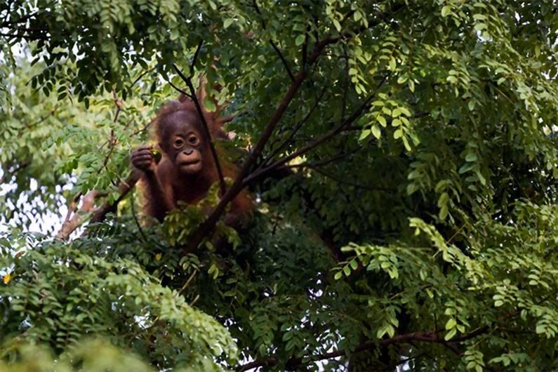 Anak Orang hutan