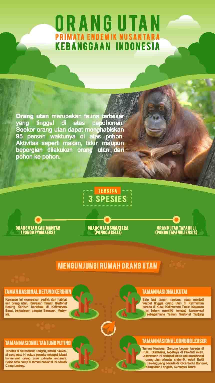 Infografik-Orang-Utan-kalimantan-primata-endemik