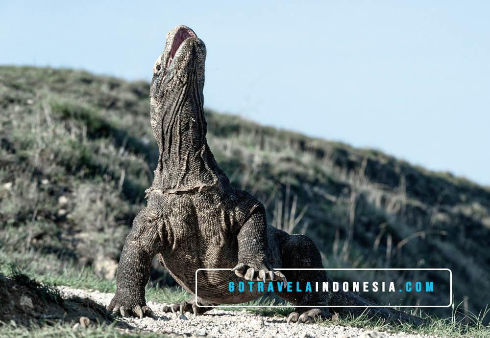 Legenda-Sejarah-Komodo-taman-national