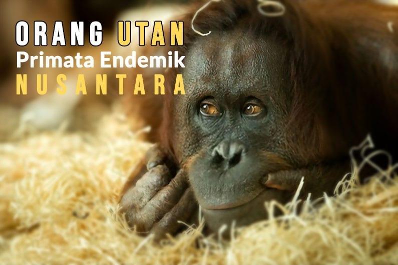Orang-Utan-Primata-Endemik