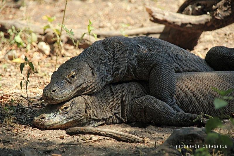 Taman-Nasional-Pulau-Komodo