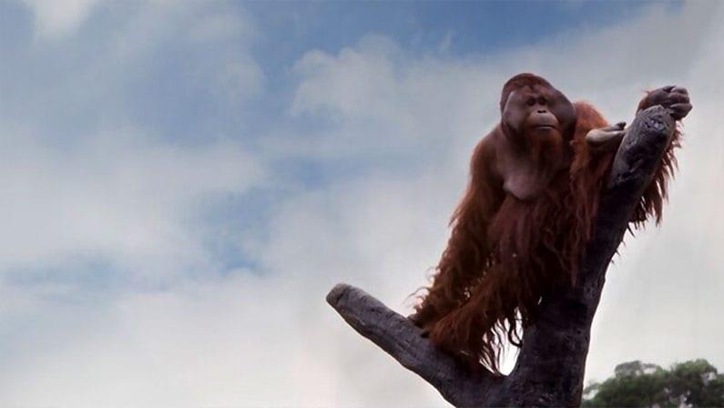 primata endemik Orang Utan